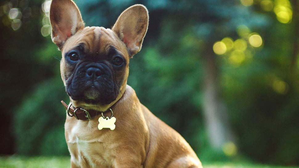 A man has been arrested after his alleged involvement in a scam using fake advertisements for designer puppies. (Getty Images/iStockphoto)