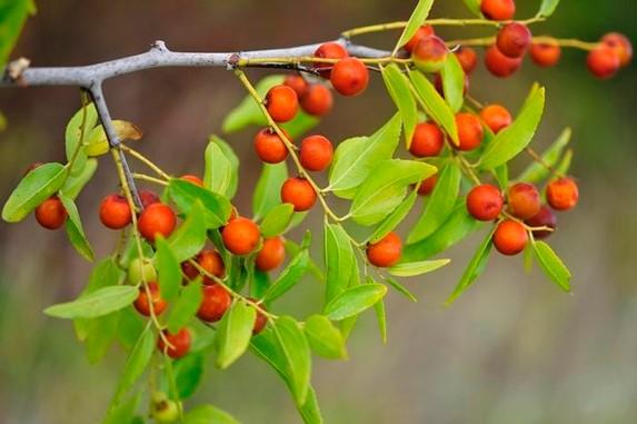 멧대추나무 출처 : 조선비즈